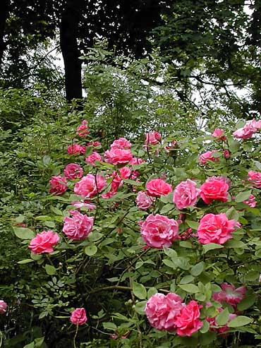 Les roses - Rosier grimpant sans epine ...